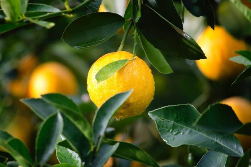 Are lemons bad for singers